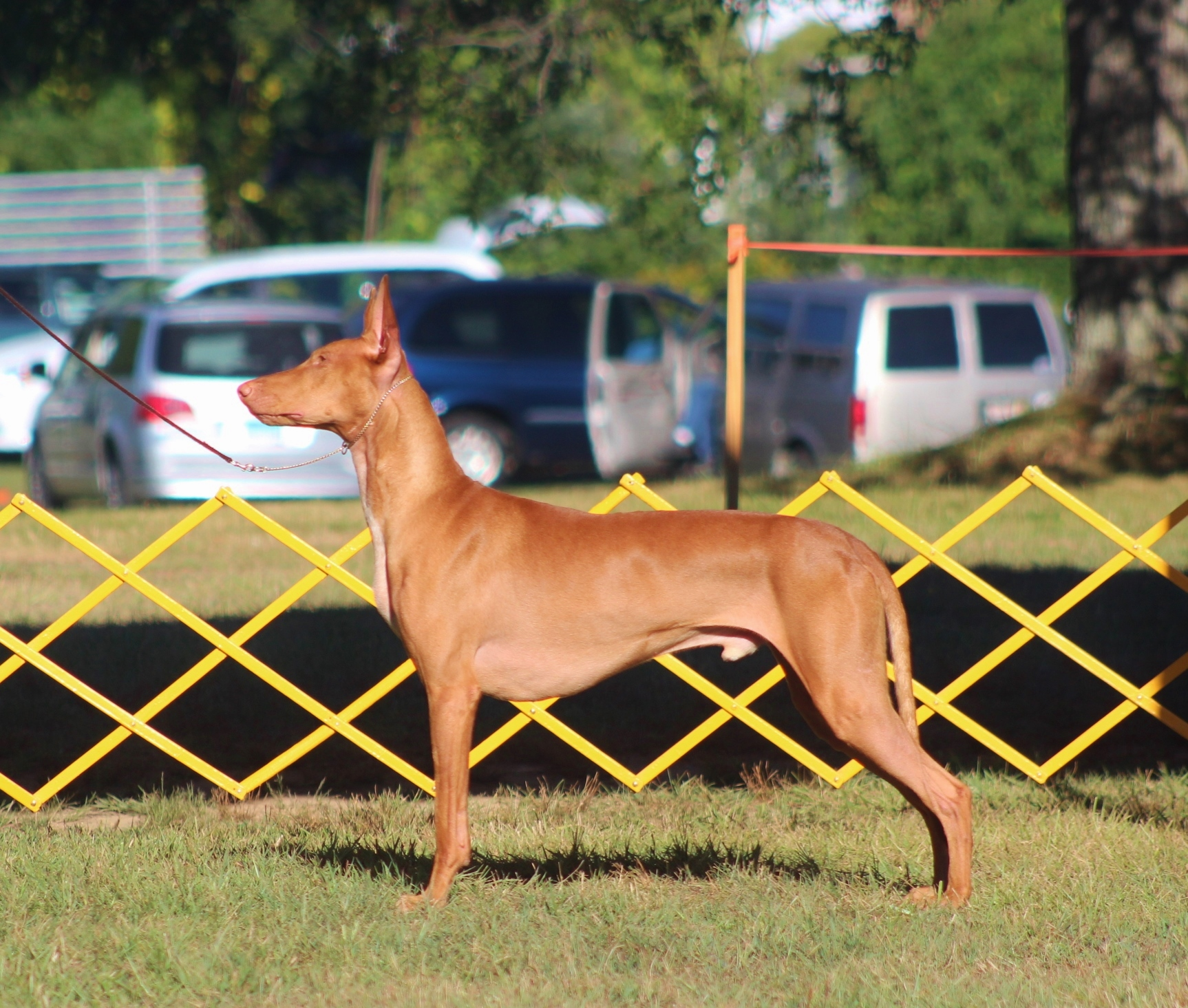 Storm going Winners Dog with a 5 point major at the PHCA National Specialty 2014, owner breeder handled. Photo: Emelie Arwinge