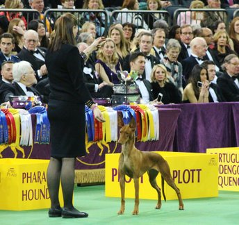Summer and Grahm competing in the Hound Group at Madison Square Garden. Photo: Simon Hansen.