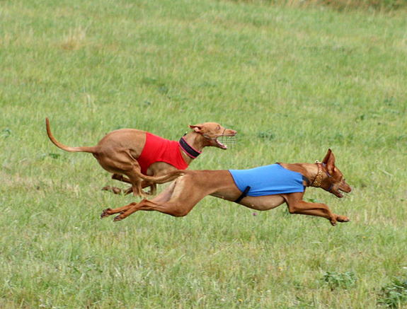Pharaoh Hounds doing what they love - lure coursing! Photo: Simon Hansen.